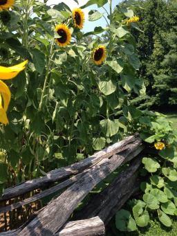 sunflowers_waveland_august 2014